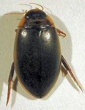 British Water Beetles, Vols I - III