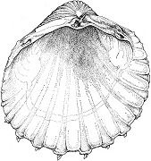 British Bivalve Seashells (Download)