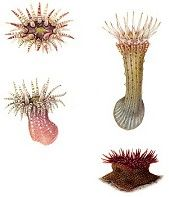 British Sea Anemones, Vol. 1 & 2